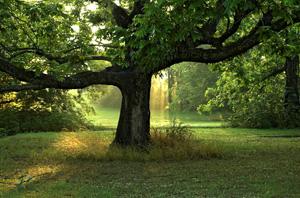продолжительность жизни деревьев таблица